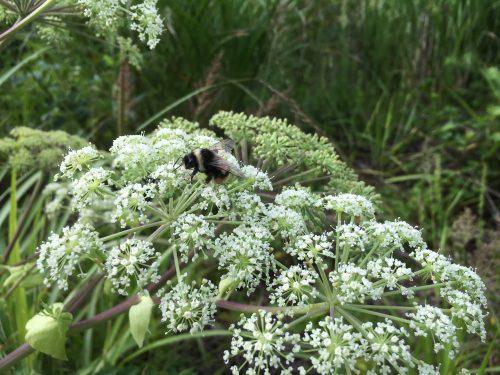 꿀따러 온 왕벌